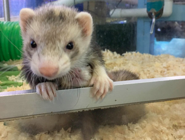 baby marshals farms ferrets