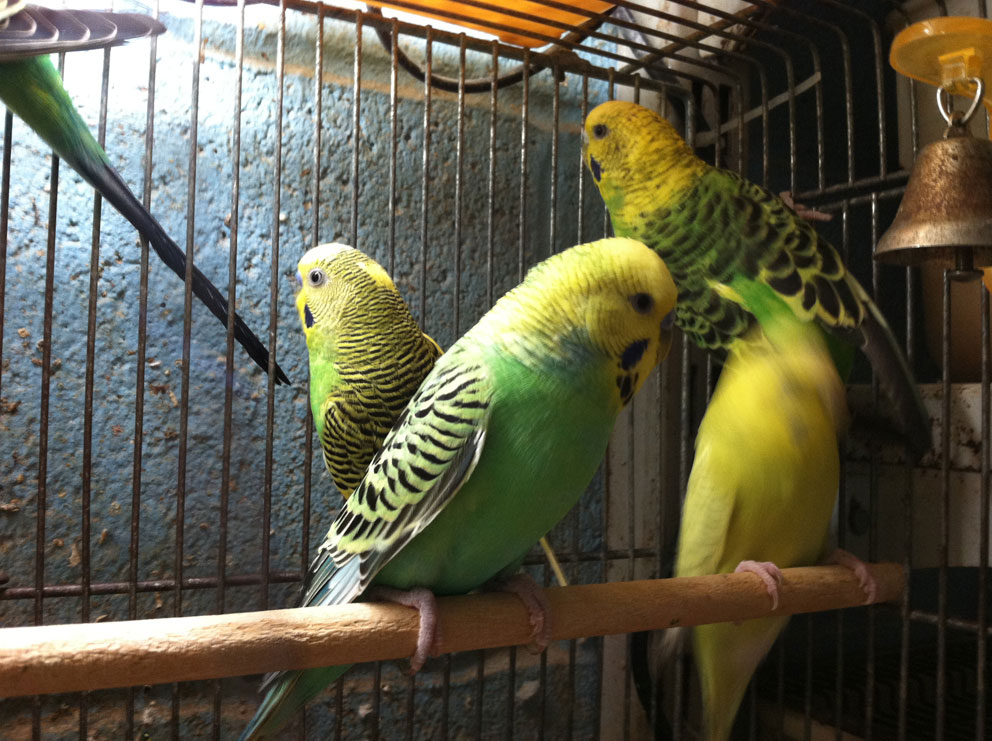 green parakeets in bird cage