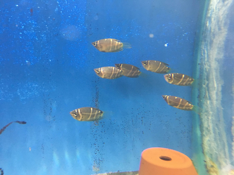 school of chocolate gourami in tank