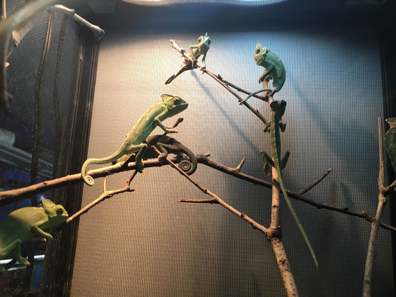 veiled chameleons in large cage climbing up tree